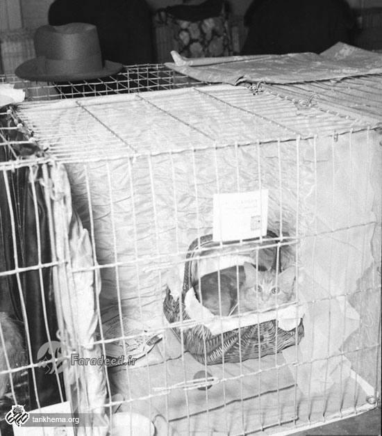 سال ۱۳۱۶ نمایشگاه گربهایرانی در شیکاگو