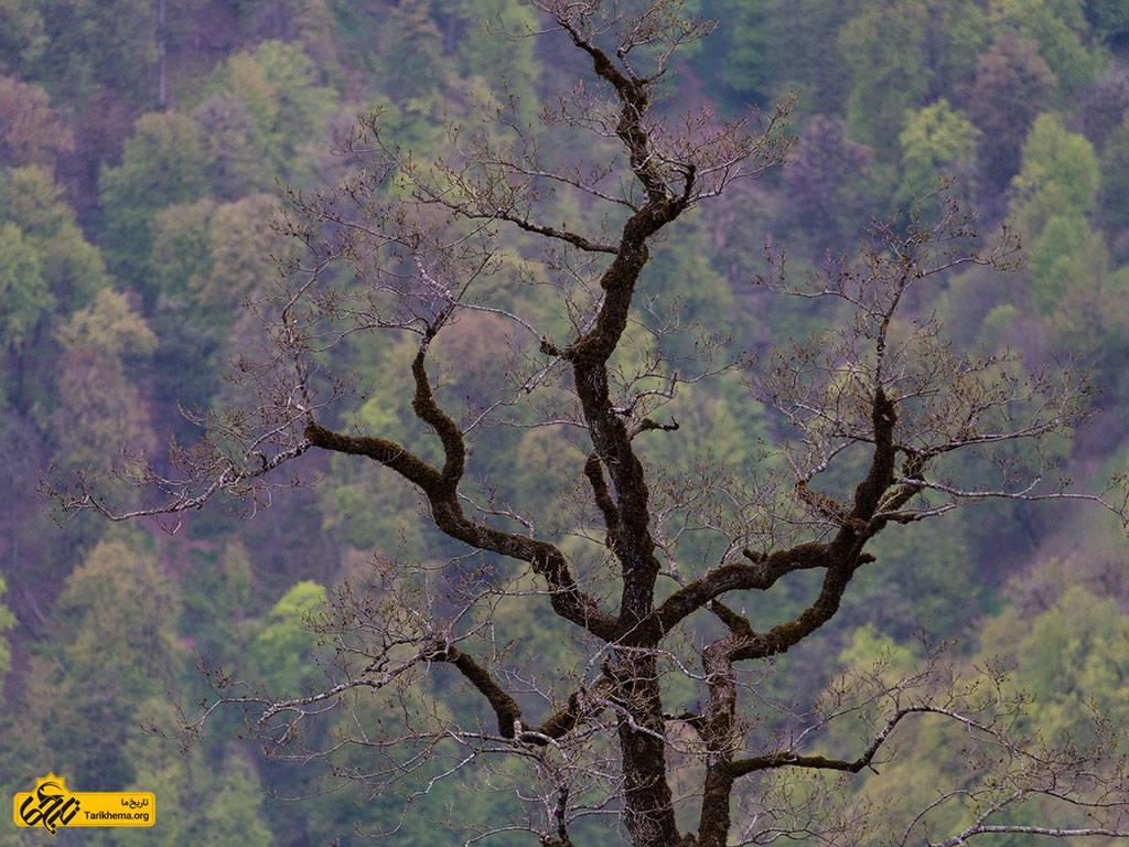 عکس درخت زیبا در روستای اولسبلنگاه ماسال %d8%b1%d9%88%d8%b3%d8%aa%d8%a7%db%8c-%d8%a7%d9%88%d9%84%d8%b3%d8%a8%d9%84%d9%86%da%af%d8%a7%d9%87-%d9%85%d8%a7%d8%b3%d8%a7%d9%84-%d8%8c-%d8%a8%d9%87%d8%b4%d8%aa-%d8%aa%d8%ac%d9%84%db%8c-%db%8c%d8%a7 Tarikhema.org