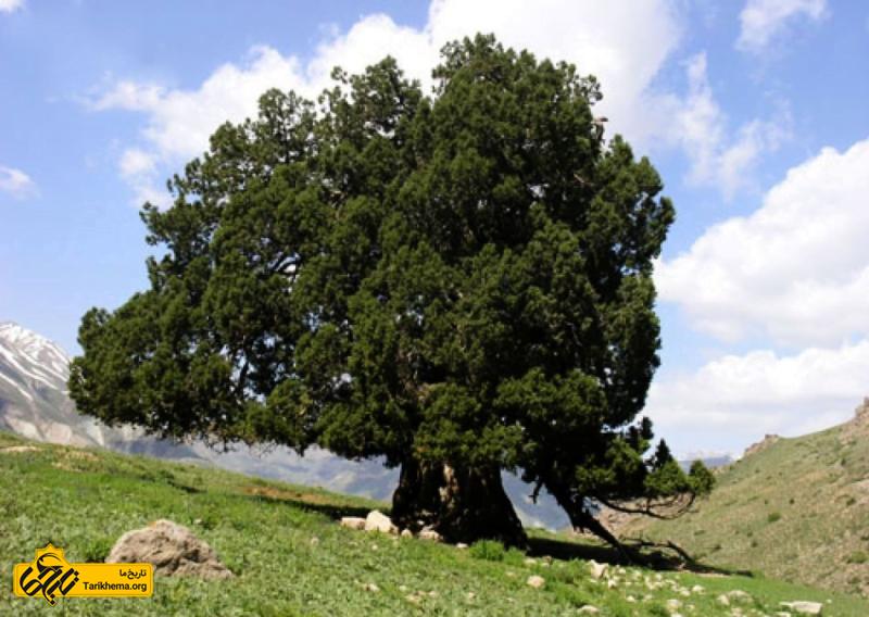 درخت اُرس