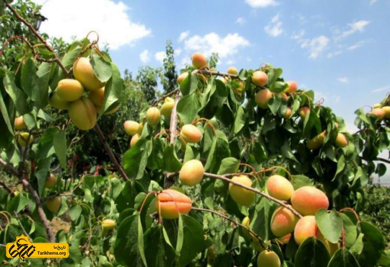 باغ های میوه شهرستانک