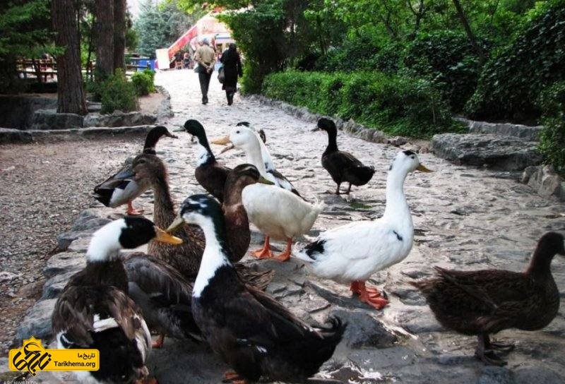 اردک های زیبا در پارک جمشیدیه