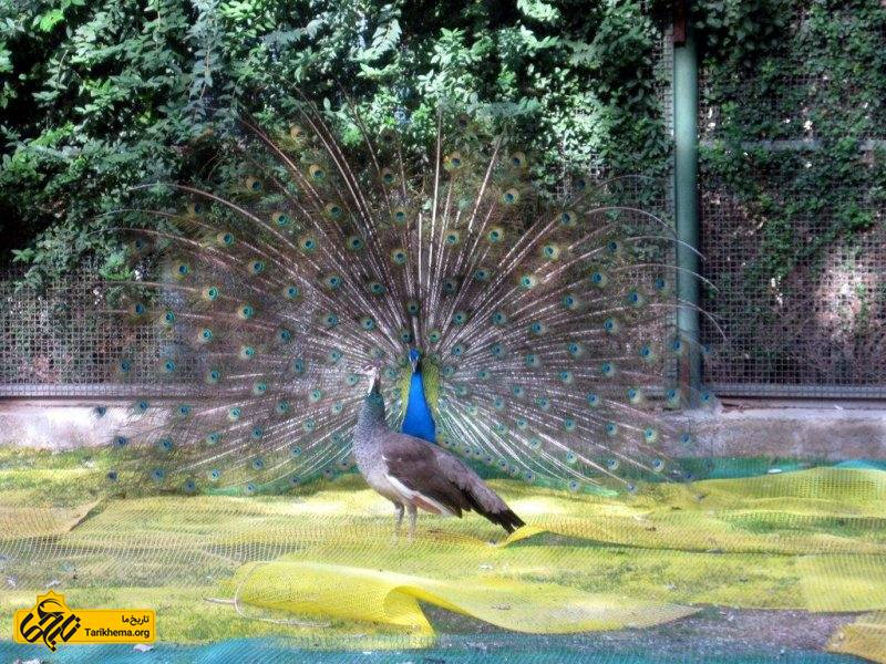 طاووس در باغ پرندگان اصفهان