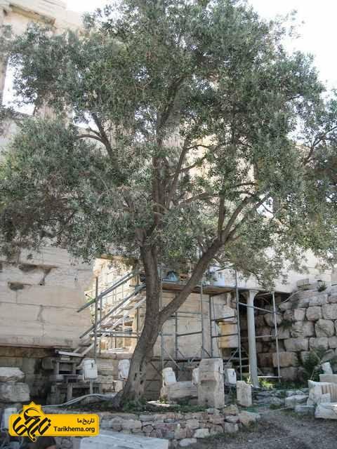 درخت زیتون مقدس در آتن