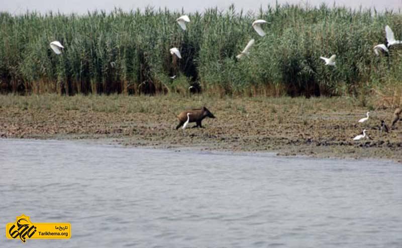 گراز و پرندگان مهاجر در تالاب بامدژ