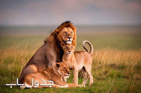 شیرها ساکن چمنزارها و سلطان جنگل ها