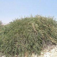 «لگجی» معجزه استان بوشهر