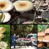 تلفات سریالی قارچهای سمی/ کلاهسفیدهایی که جان میگیرند