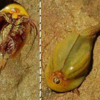 ثبت فسیل زنده میگوی بچه وزغیدر زیستگاه طبیعی نائین