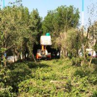 تحقیقات بر روی حساسیت زا بودن گرده درخت کنوکارپوس انجام می شود