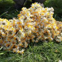 غار بره زرد و رویشگاه طبیعی گل نرگس در ایلام ثبت ملی شدند